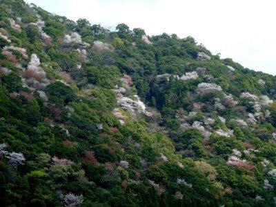 綾の照葉大吊橋の桜