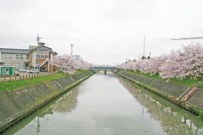 下条川千本桜の桜