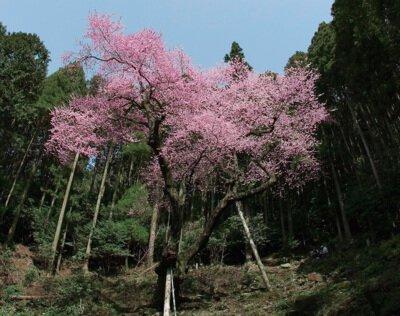 虎尾桜 - 桜名所 お花見2021 | ウォーカープラス