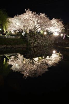 田丸城跡の桜
