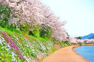 川島堤の桜