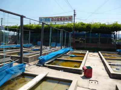 郡山金魚資料館・やまと錦魚園