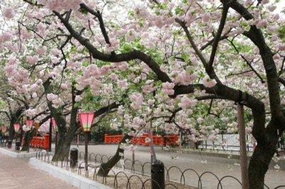 「造幣局の桜」のお花見(大阪市北区)