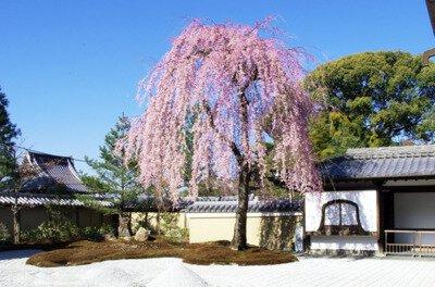 「高台寺の桜」のお花見(京都市東山)