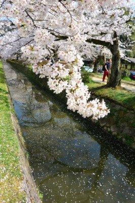 「哲学の道の桜」のお花見(京都市左京)