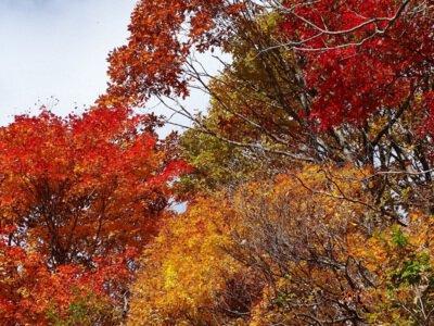 白山市白峰県道白山公園線沿線の紅葉