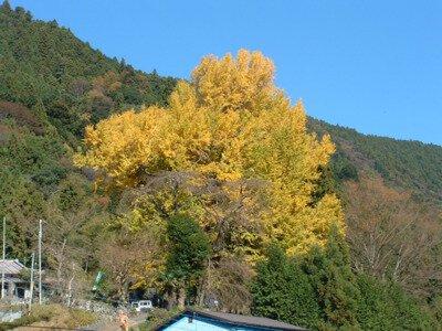 本妙寺の大イチョウの紅葉