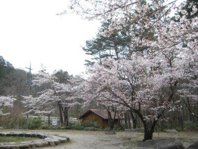 レイクパーク加茂の桜