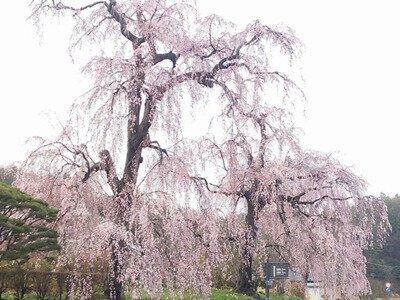 達谷窟毘沙門堂の桜