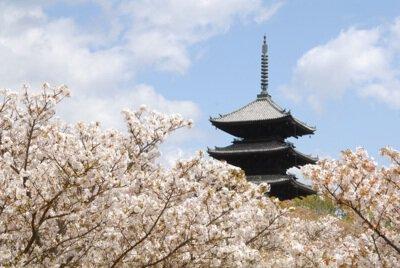 「仁和寺の桜」のお花見(京都市右京)