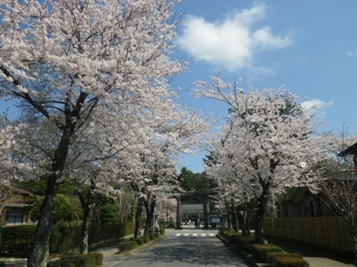 乃木参道の桜
