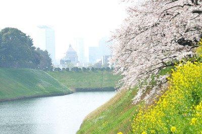 「千鳥ヶ淵の桜」のお花見(九段下)