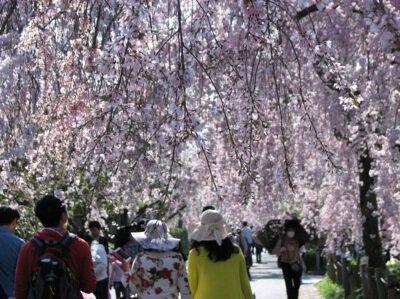 東谷山フルーツパークの桜