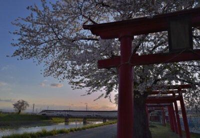 白水川堤防桜並木