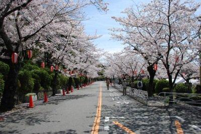 「五月山公園の桜」のお花見(池田市綾羽)