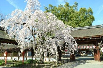 「平野神社の桜」のお花見(京都市北)
