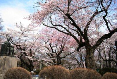 水沢公園の桜