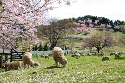 伊香保グリーン牧場のソメイヨシノ