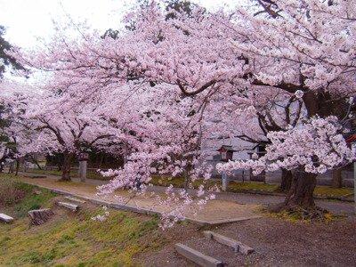 弥彦公園(遅咲き)の桜