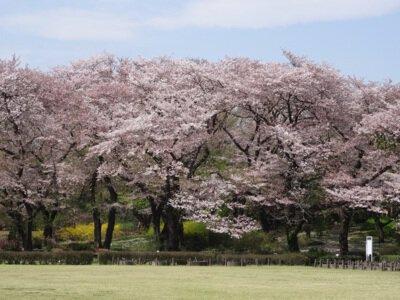 【臨時休園】都立神代植物公園の桜