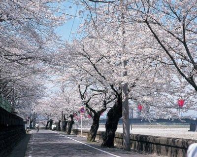 岐阜公園長良川堤の桜