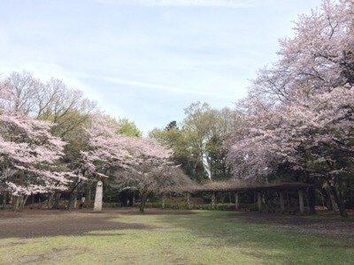 城山公園の桜(神奈川県)