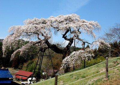 外大野のしだれ桜