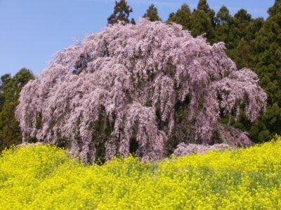 合戦場のしだれ桜の桜
