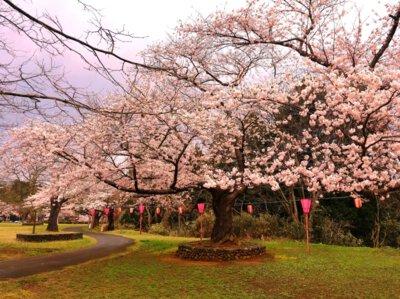 赤坂山公園の桜