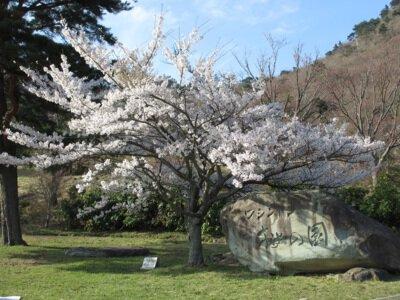 翠波高原の桜