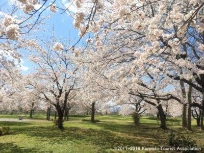 【駐車場封鎖】東公園さくら山の桜