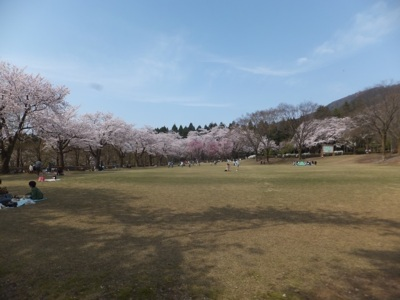 石川県農林総合研究センター林業試験場樹木公園の桜