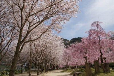 笠置キャンプ場(木津川畔)の桜