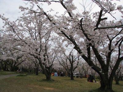 甘木公園の桜(福岡県大牟田市)