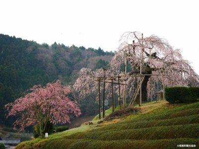 畑のしだれざくらの桜