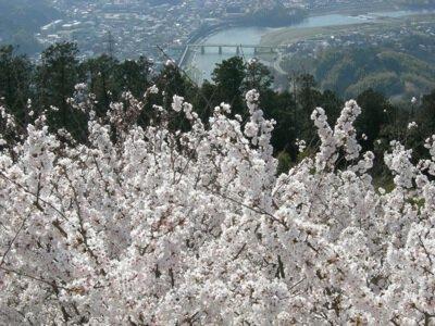 冨士山公園の桜