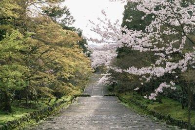「二尊院の桜」のお花見(京都市右京)