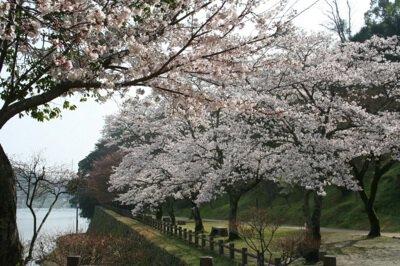 人吉城跡の桜