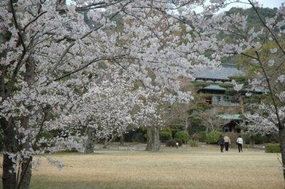 毛利氏庭園の桜