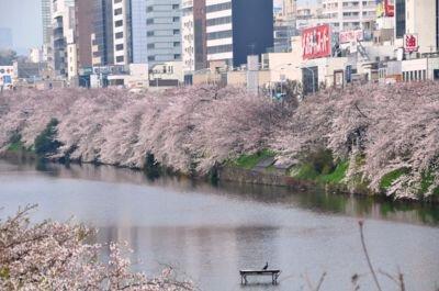 「外濠公園の桜」のお花見(飯田橋)