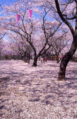 あけぼの山農業公園の桜