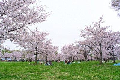 「舎人公園の桜」のお花見(舎人公園)