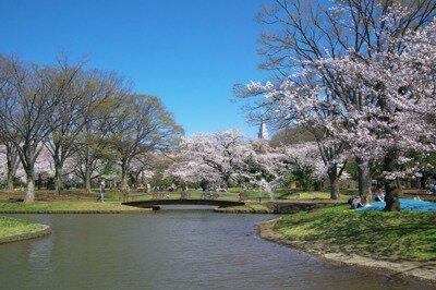 「代々木公園の桜」のお花見(原宿)