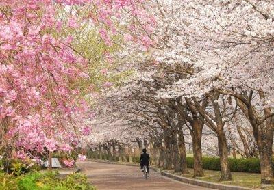 和らぎの道(七谷川沿い)の桜