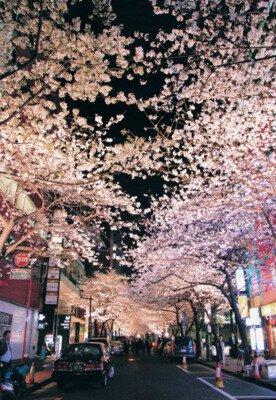 八重洲さくら通りの桜
