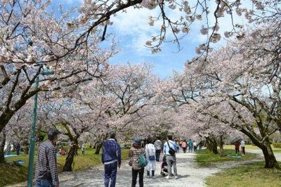 鏡野公園の桜