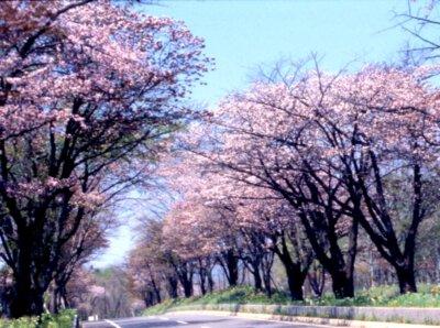 登別桜並木の桜