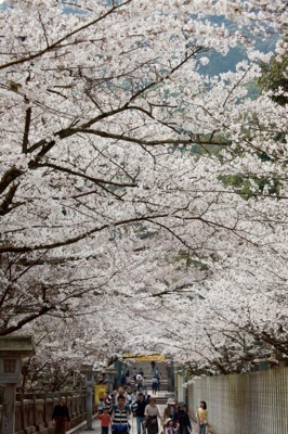 金刀比羅宮の桜