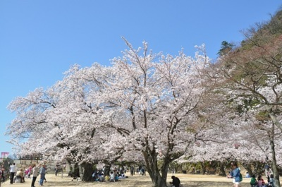 鳥取城跡・久松公園の桜