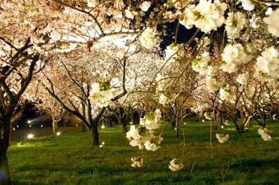 元離宮二条城(桜の園)の桜